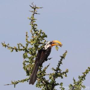 Eastern yellow-billed hornbill, Northern Kenya