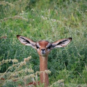 Baby gerenuk, Samburu Special Five Northern Kenya