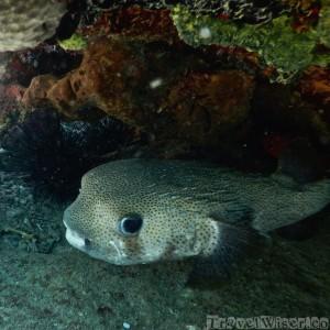 Pufferfish, diving in Cuba