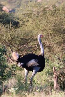 Somali ostrich Northern Kenya