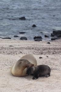 Sea lion mother and pup, La Loberia