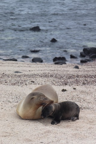 Sea lion mother and pup, La Loberia