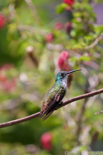White-chested emerald hummingbird , Yerette Trinidad