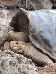 Galapagos tortoise Charles Darwin Research Center