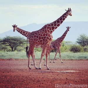 Tower of reticulated giraffe, Kalama conservancy airstrip