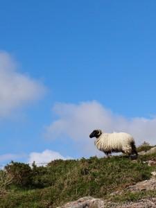 Sheep, County Galway Ireland