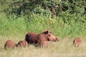 Warthogs, Northern Kenya