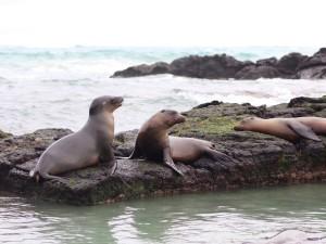 Playful sea lions, Isla Isabela