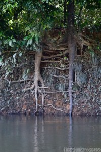 Tree roots, Mapari creek Guyana