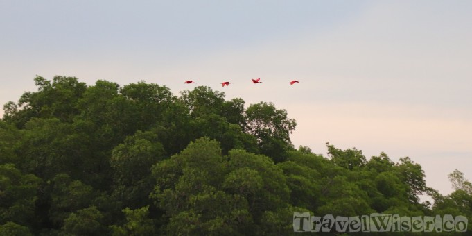 Scarlet ibises flying over Caroni swamp