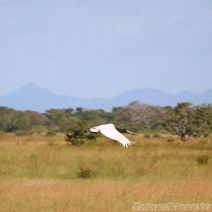 Jabiru stork flying over the Rupununi savannah in Guyana