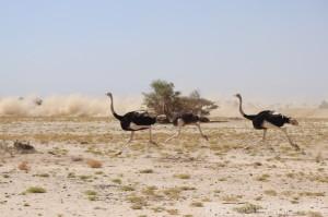 Ostriches running through the sand desert surrounding Erta Ale