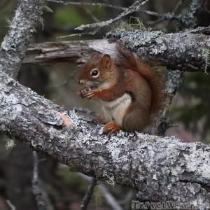 Red squirrel, Acadia Maine
