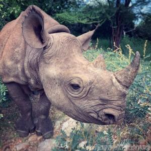 Black rhino at the Sera Rhino Sanctuary in Kenya