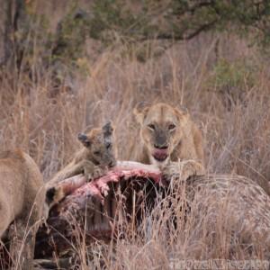 Lion and cub eating a giraffe