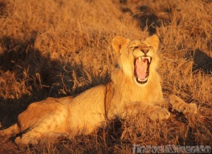 Roaring lion, Hlane Royal National Park Swaziland