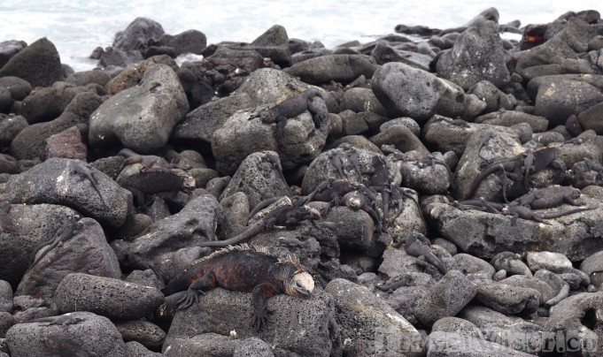 Marine iguanas on the rocks, Isla Isabela