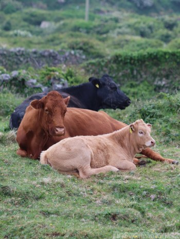 Cows, Aran Islands