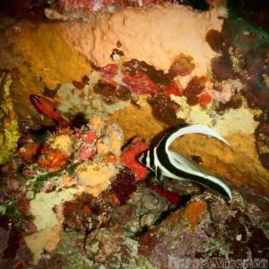 Juvenile spotted drum, Tobago diving