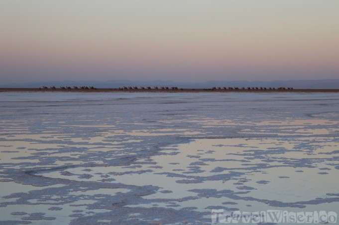 Camel caravan walking past Asale salt lake at sunset