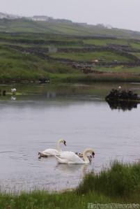 Wild swans on Inishmore