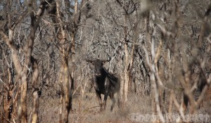 Blue wildebeest, Hlane Royal National Park Swaziland
