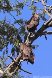 Vultures in the garden of Debre Birhan Selassie Gondar