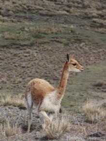 Vicuña, Reserva de Produccion Faunistica Chimborazo Ecuador