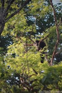 Bearded saki monkey Guyana