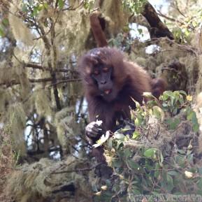 Gelada monkey eating Abyssinian rose