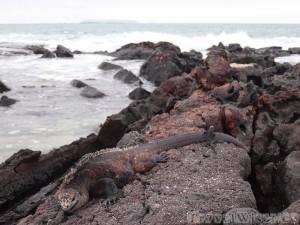 Big and small marine iguanas, Isla Isabela