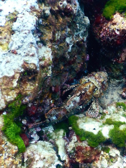 Scorpionfish at Richelieu Rock Thailand diving