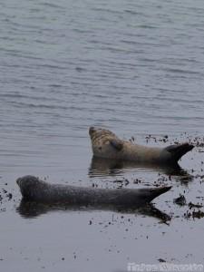 Seals, Inishmore Ireland