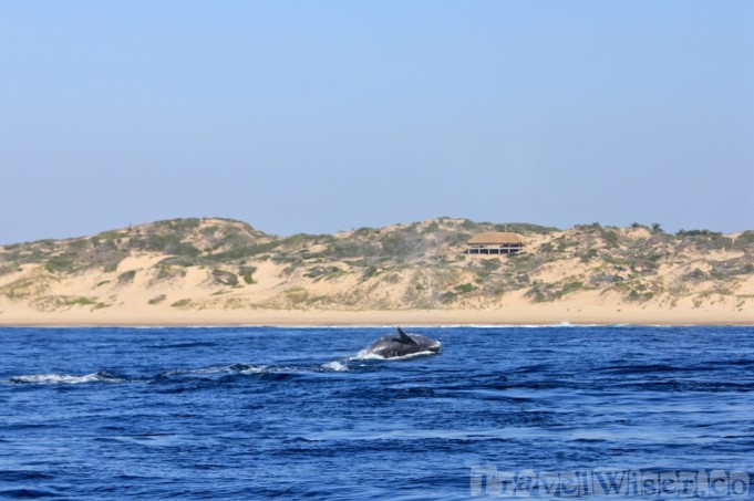 Whale breaching along the coast of Tofo, Mozambique