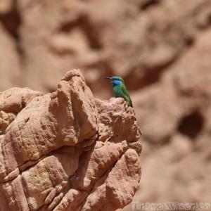 Green Bea Eater, Dana Biosphere Jordan