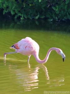 Galapagos American flamingo