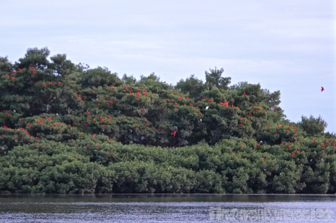 Scarlet ibis roosting spot in Caroni swamp Trinidad