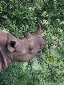 Black rhino eating leaves