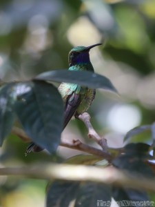 Hummingbird, Ecuador highlands