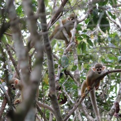 Squirrel monkeys, Guyana