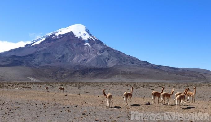 Wild vicuñas at Volcan Chimborazo