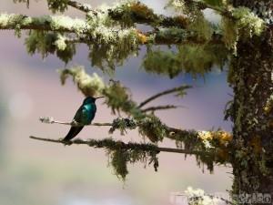 Hummingbird, Ecuador cloud forest