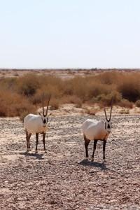 Arabian oryx, Shaumari Wildlife Reserve Jordan