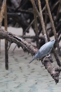 Galapagos lava heron in a mangrove