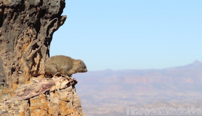 Rock hyrax on a mountain in Tigray Ethiopia