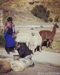 Buying sheep and llamas at the market, Ecuador Quilotoa Loop