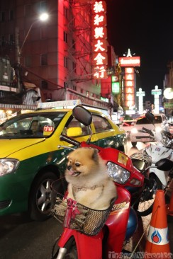 Pomeranian dog in Bangkok's Chinatown