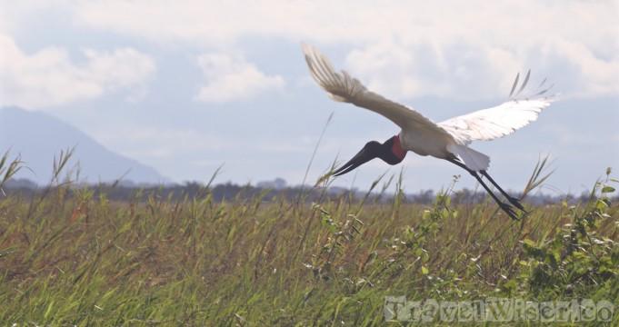 Jabiru stork, Rupununi savannah Guyana