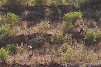 Troop of baboons Ethiopia
