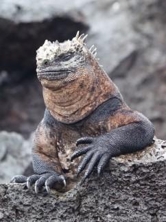 Galapaos marine iguana